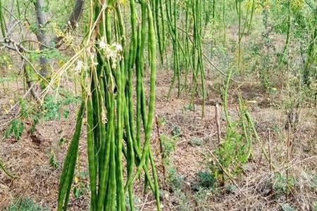 Expérimentation de trois (03) variétés de Moringa pour leurs valeurs nutritionnelles en fonction des différents microclimats au Burkina Faso